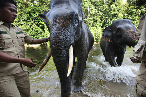 Forest rangers helping elephants in Indonesia