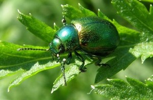 Tansy beetle (c) Buglife