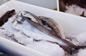 Fresh cod fish in a polystyrene box with ice