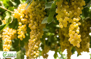 Grapes in Parwan