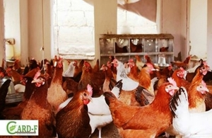 Chicken Farm
