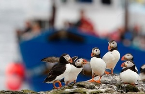 Farne Island puffins with fishing boat in background