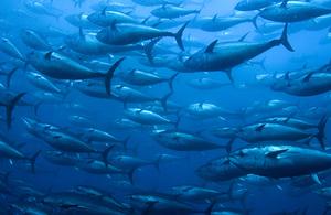 shoal of bluefin tuna