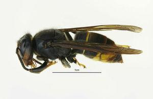 Asian hornet image