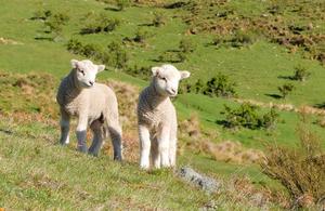 lambs in field