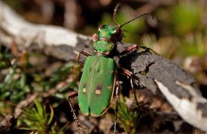 Green tiger beetle on Thursley Common National Nature Reserve