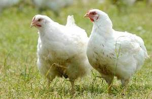 Image of poultry