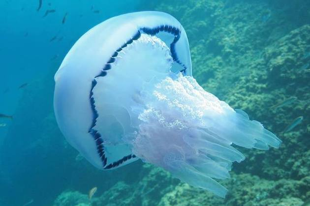 Type of jellyfish used to extract high purity collagen