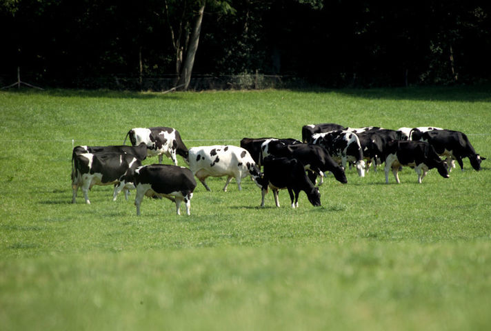 British cattle