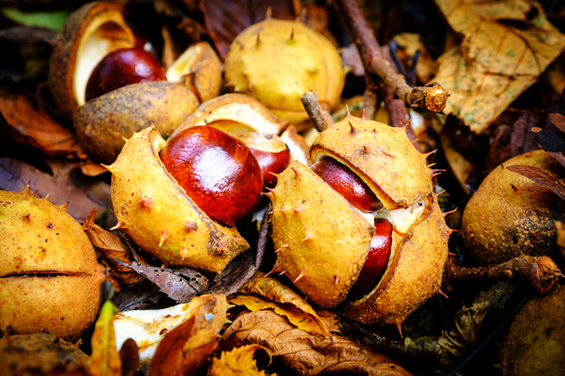 close up of conkers