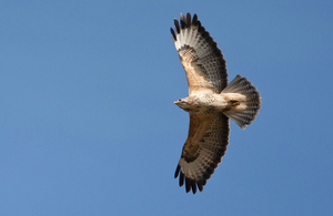Common buzzard in flight © Natural England/Allan Drewitt