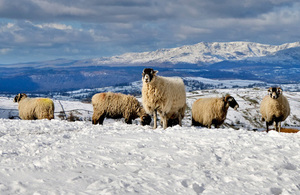 Sheep in the snow (Photo credit: Thinkstock)