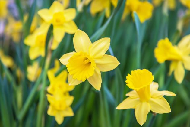 Daffodils March landscape