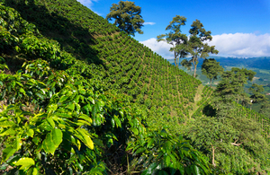 Coffee plant covered hills near Manizales, Colombia