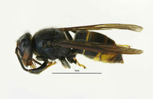 Image of Asian hornet