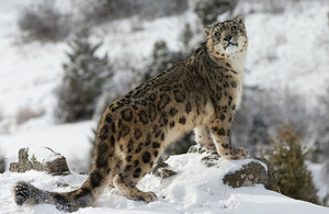 Snow leopard (source: Getty images)