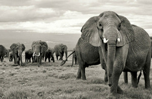 Read the 'Introduction of ivory bill boosts fight against elephant poaching' article
