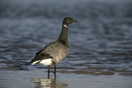 Dark bellied goose