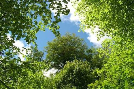 Looking up through tree canopy to blue sky