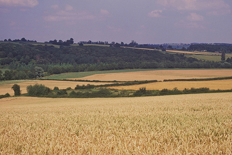 Fields of grain with wooded slope beyond.