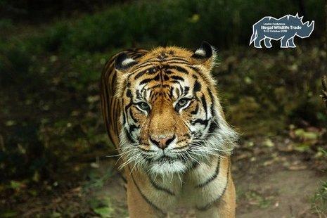 An endangered Sumatran tiger, pictured in London Zoo.