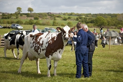 Dairy Cows in Ayrshire