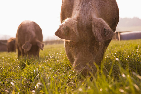 Pigs in a field (photo credit: Getty images)