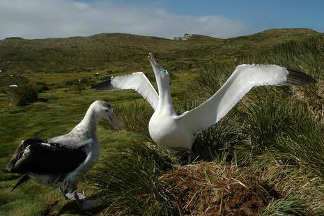 A pair of wandering albatrosses on South Georgia (Credit: Richard Phillips/British Antarctic Survey)