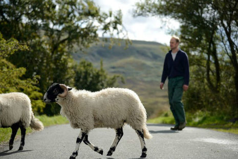 Farmer walking sheep across road