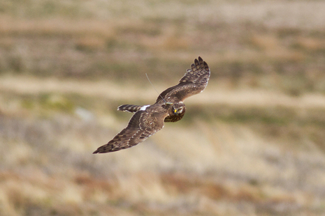 Hen harrier flying over moorland