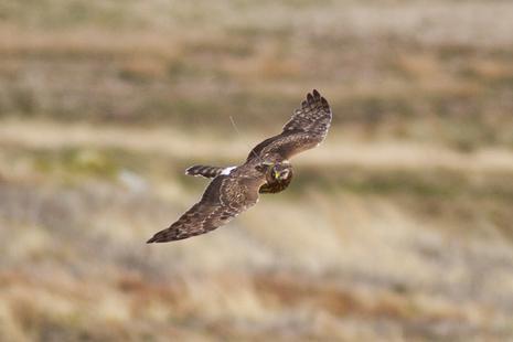 Hen harrier flying over moorland