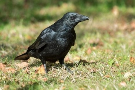 A black bird standing on the grass