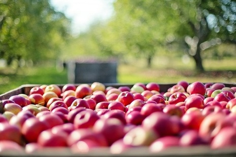 Apples in a crate inbetween trees on an apple farm