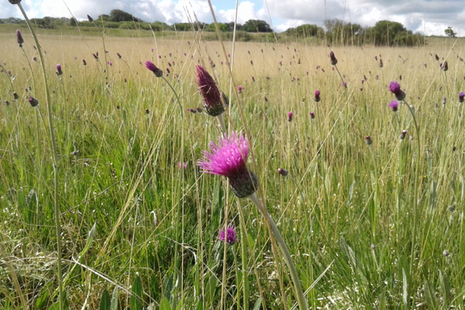 Meadow thistles in grassland.