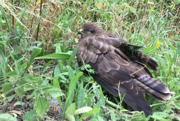Injured buzzard