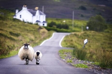 Sheep walking down a country road