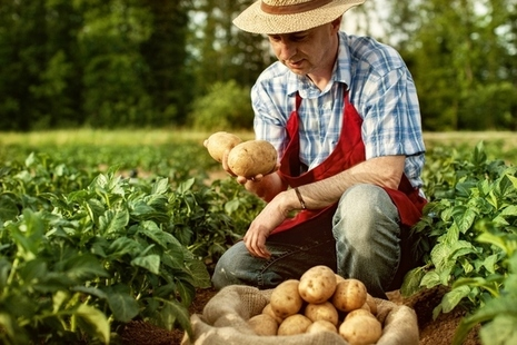 Farmer looking at his potatoes in a field