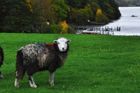 Single sheep in a field by a lake