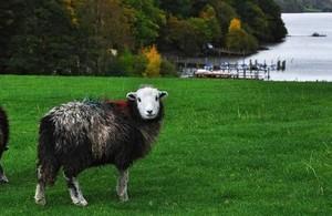 Herdwick sheep in field near lake in Cumbria