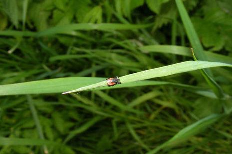Tick on a blade of grass