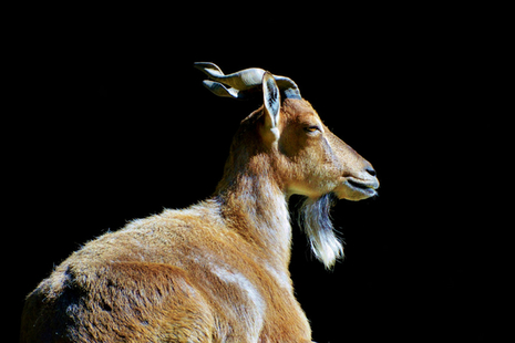The markhor, with its characteristic screw horns, is a species often hunted.