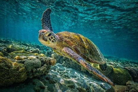 Turtle swimming in ocean