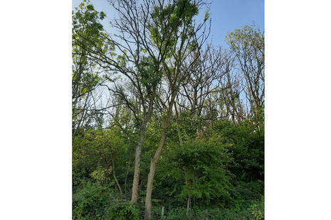 An infected ash tree at Cinque Ports Training Area, where a similar, smaller-scale felling programme took place in 2018.