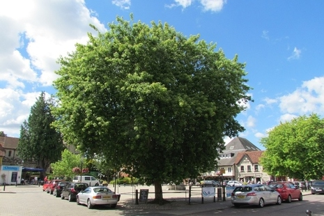Large street tree, with cars parked next to it.
