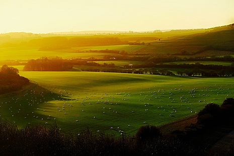 Fields with grazing sheep and woodland at sun rise