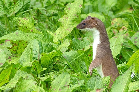 A stoat in a field (Credit: Getty Images)
