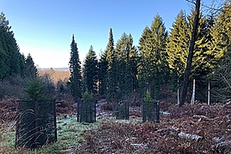 Newly-planted trees in conifer woodland.