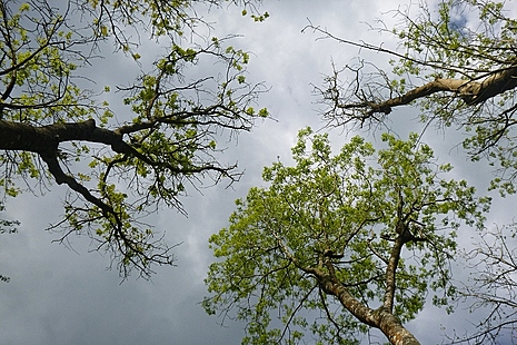 Ash tree shot into the canopy showing ash dieback