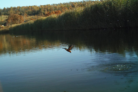 A kingfisher at a Coal Authority mine water treatment scheme.