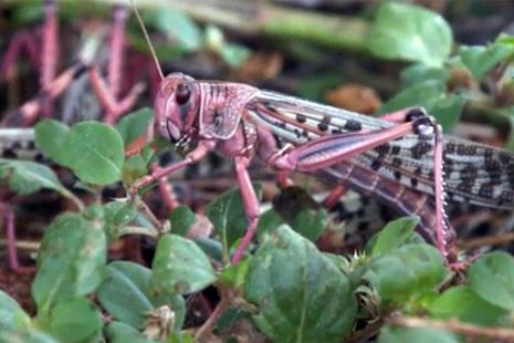 Locust eating crops
